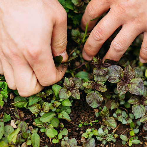 龍神梅,梅干し,無農薬,オーガニック,有機栽培,通販